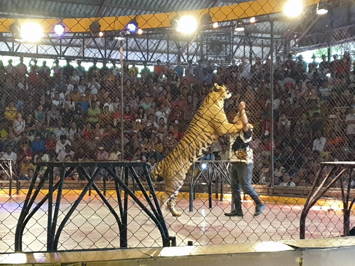 Tiger02